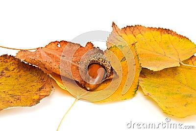 Acorn and leaf