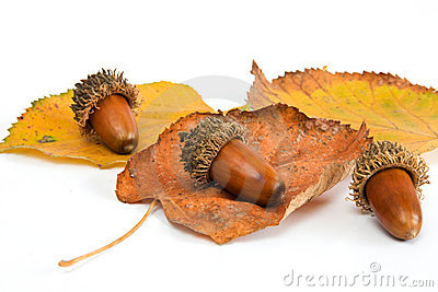 Autumn acorn and leafs