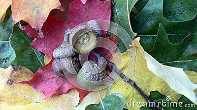 Acorn on vibrant leaves