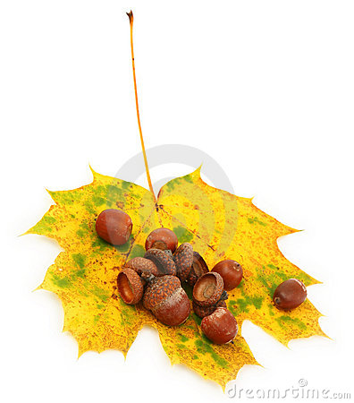 Acorns on autumn leaf