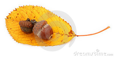 Acorns on autumnal leaf