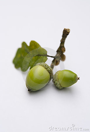Free Acorns From An Oak Tree Royalty Free Stock Photo - 3138135