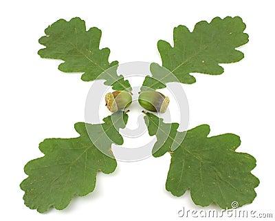 Acorns and leaves of oak