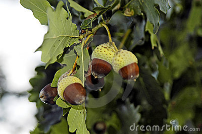 Acorns in oak tree