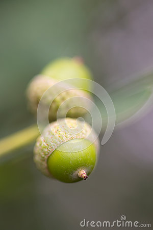 Acorns in tree