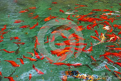 Acqua di Koi Carps in primavera