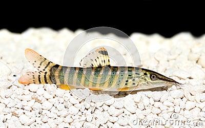 Acquario di berdmorei di botia del blyth di berdmorei di for Pesce gatto acquario