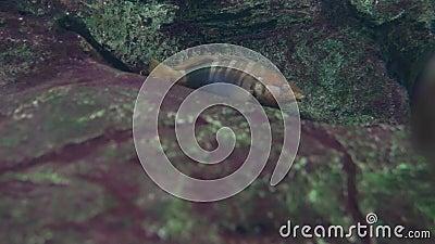 Acquario pietra scura un pesce di colore marrone blu onda le sue pinne Ripresa dietro il vetro stock footage