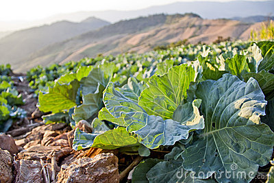 Acres of cabbage.