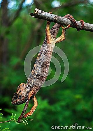 The acrobat.