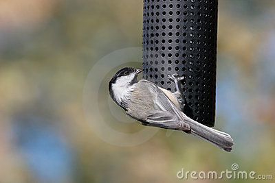 Acrobatic Chickadee