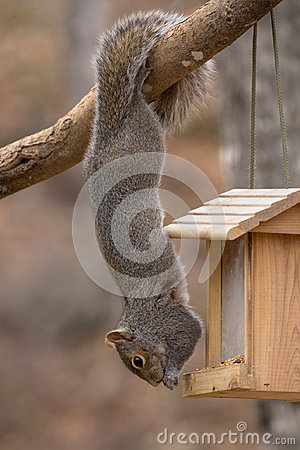 Free Acrobatic Gray Squirrel Hanging By Tail Stock Photos - 98013553
