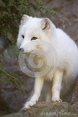 Actic Fox Portrait