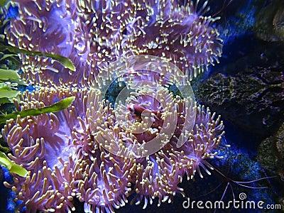 Actinia (sea anemona)