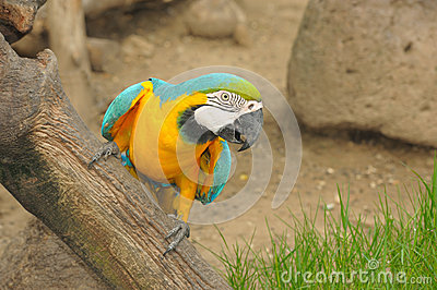 Action Macaw bird in zoo.