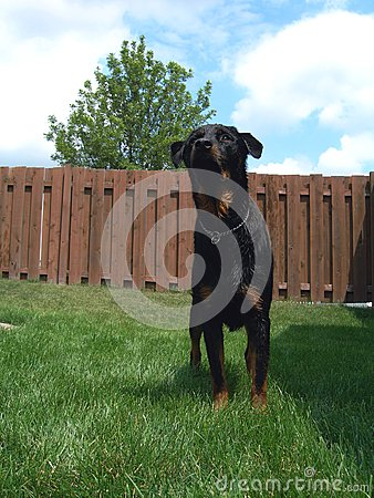 Action Ready Rottweiler Dog