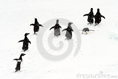 Adélie Penguins running on ice.