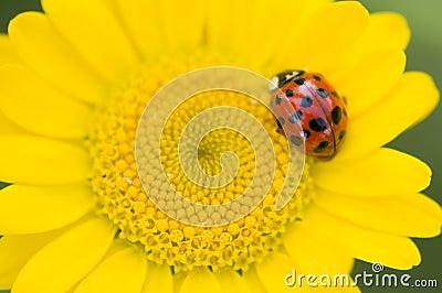 Adalia decempunctata,  ten-spotted ladybird