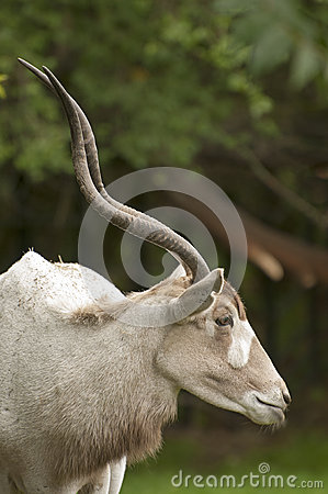 Free Addax Stock Images - 28206574