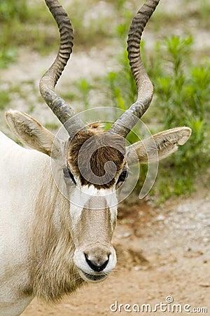 Addax - Addax nasomaculatus