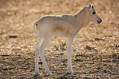 Addax antelope baby