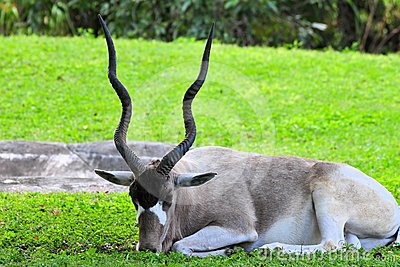 Addax antelope in zoo