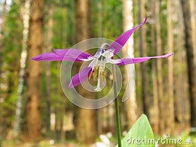 Adder s-tongue flower