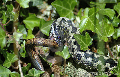 Adders fighting