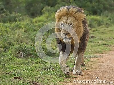 Addo Prime Lion