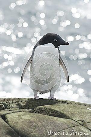 Adelie penguin on sea background.