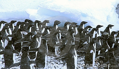 Adelie penguins, crowding the shoreline, waiting for the first brave one to dive in,