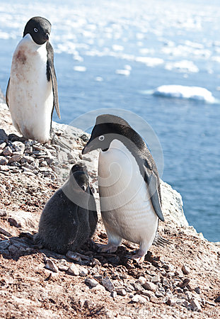 Adelie penguins in the family nest.