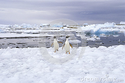 Adelie Penguins on Ice, Antarctica