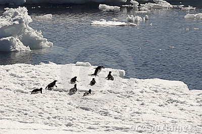 Adelie penguins on ice floe