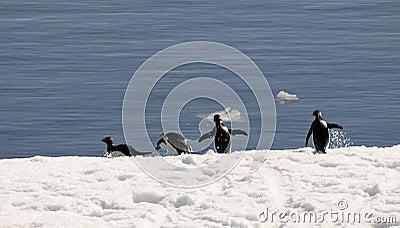 Adelie penguins on the run