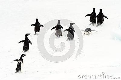 Adélie Penguins running on ice.