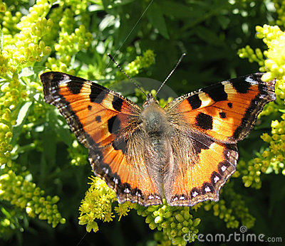 Daily Admiral butterfly (Vanessa atalanta)