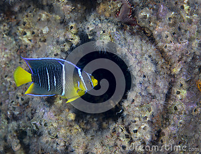 Adolescent Butterfly Fish - Shipwreck Porthole