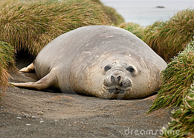 Adolescent Elephant Seal