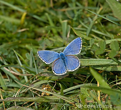 Free Adonis Blue Butterfly Stock Photography - 10163362