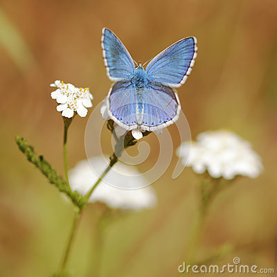 Free Adonis Blue Butterfly Macro Stock Images - 28848514