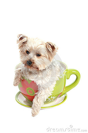 Free Adorabel Puppy In A Tea Cup Royalty Free Stock Image - 2282826