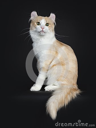Adorable adult creme and white male American Curl on black sitting side ways Stock Photo