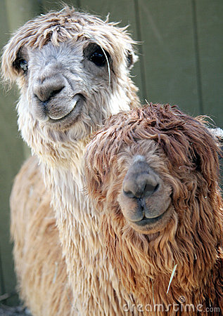 Free Adorable Alpacas Royalty Free Stock Image - 809016
