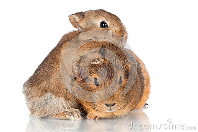 Adorable baby rabbit hugging guinea pig