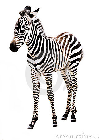 Free Adorable Baby Zebra Standing. Royalty Free Stock Images - 10415069