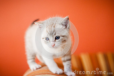 Adorable and beautiful little white kitty cat