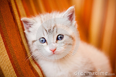 Adorable and beautiful little white kitty cat watching at the ca