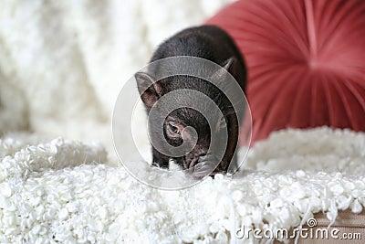 Adorable black mini pig on sofa Stock Photo