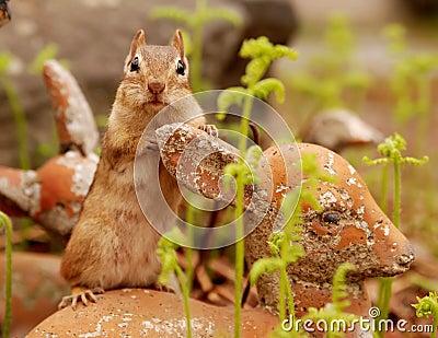 Adorable chipmunk